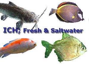 Image result for ich fish