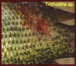 Image result for trichodina in fish