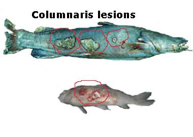 Image result for columnaris